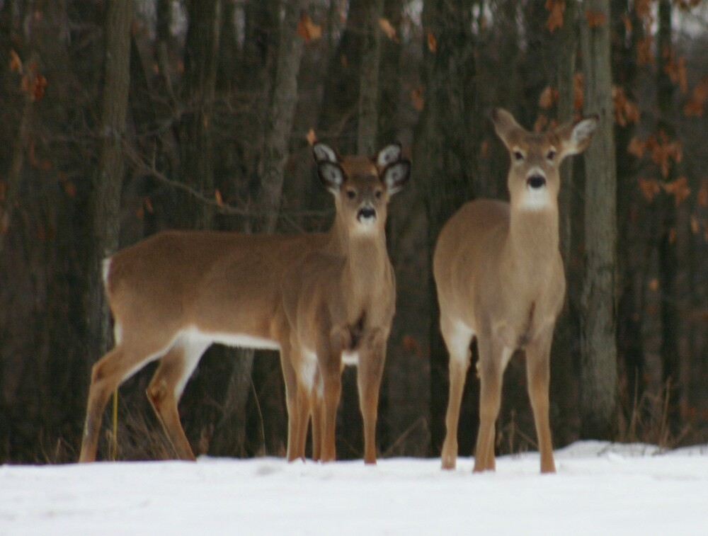 Two deer or three ears by Larry