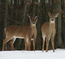 Two deer or three ears by Larry