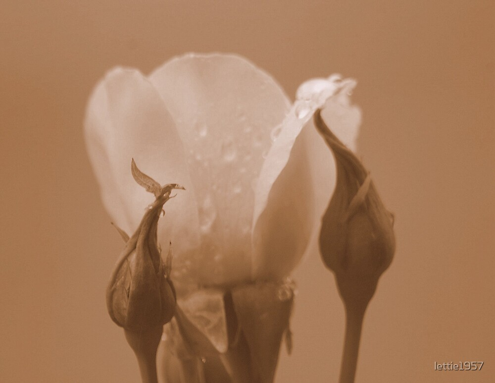 Rosebud  in  sepia by lettie1957