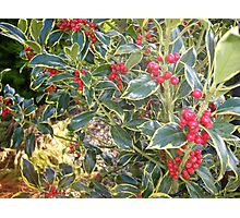 Varigated holly Photographic Print