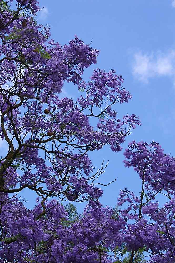 Jacaranda Blues, 2 by Aussiebluey