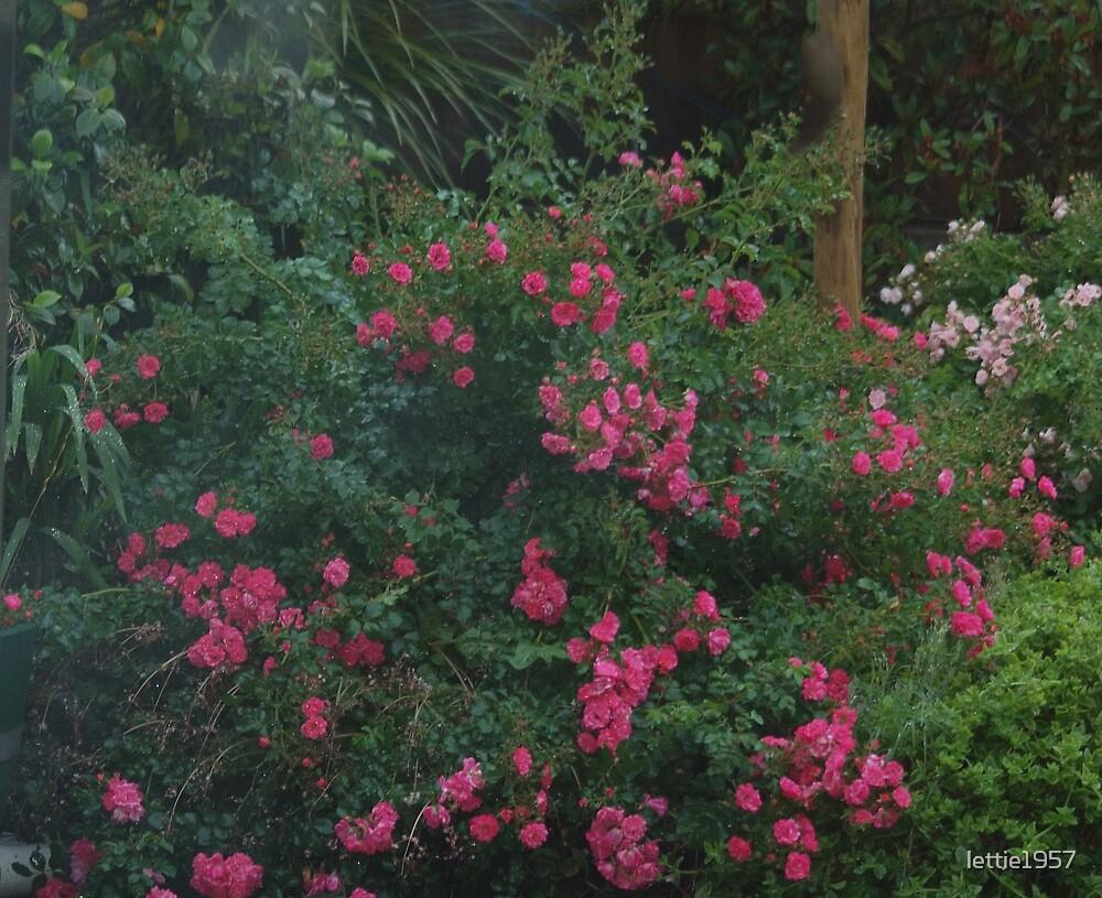Carpet Roses in Garden  by lettie1957