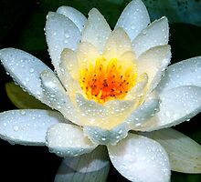 Water Lily by Steven  Agius