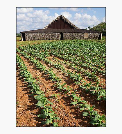 Tobacco Farm, Cuba Photographic Print
