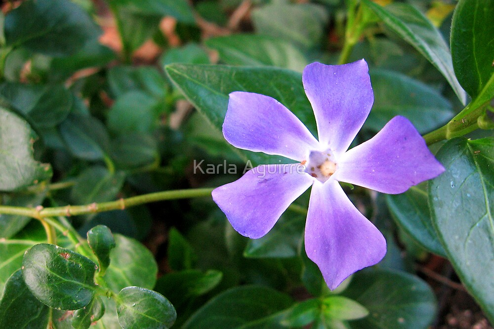 Periwinkle by Karla Aguirre