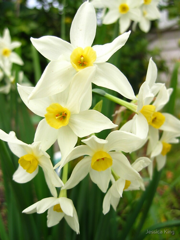 Spring Daffodils by Jessica King