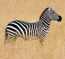 Zebra - Serengeti, Tanzania by dawesy