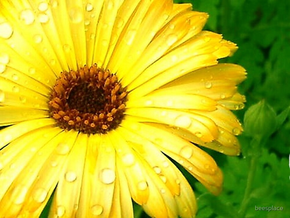 Drops of Yellow by beesplace