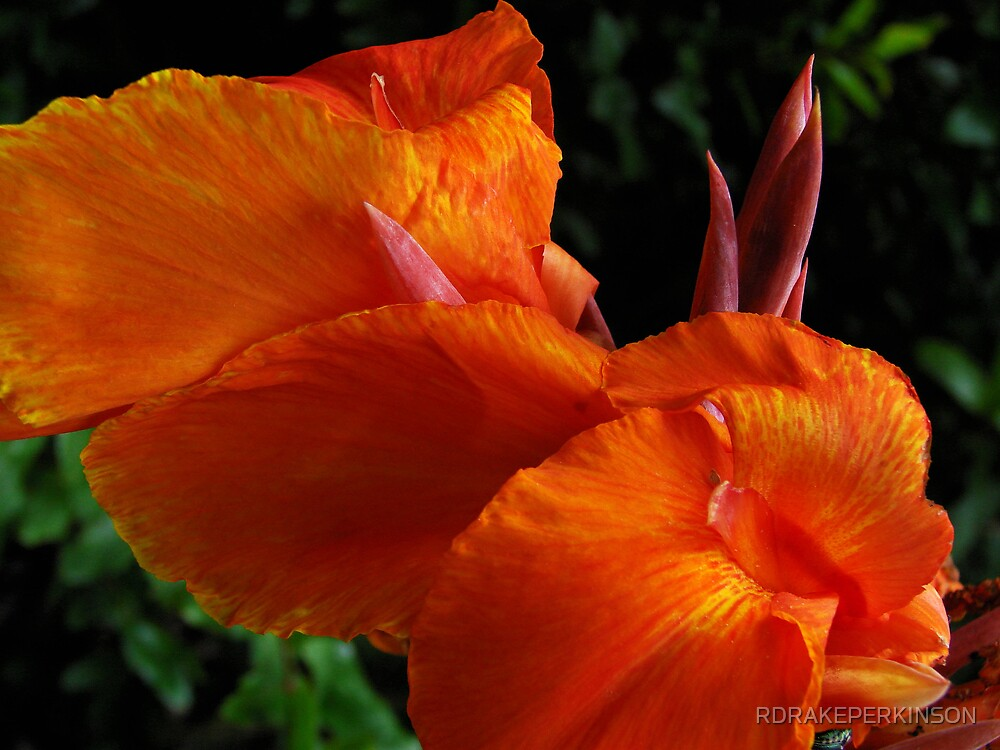 STUDY IN ORANGE THE CANA by RDRAKEPERKINSON