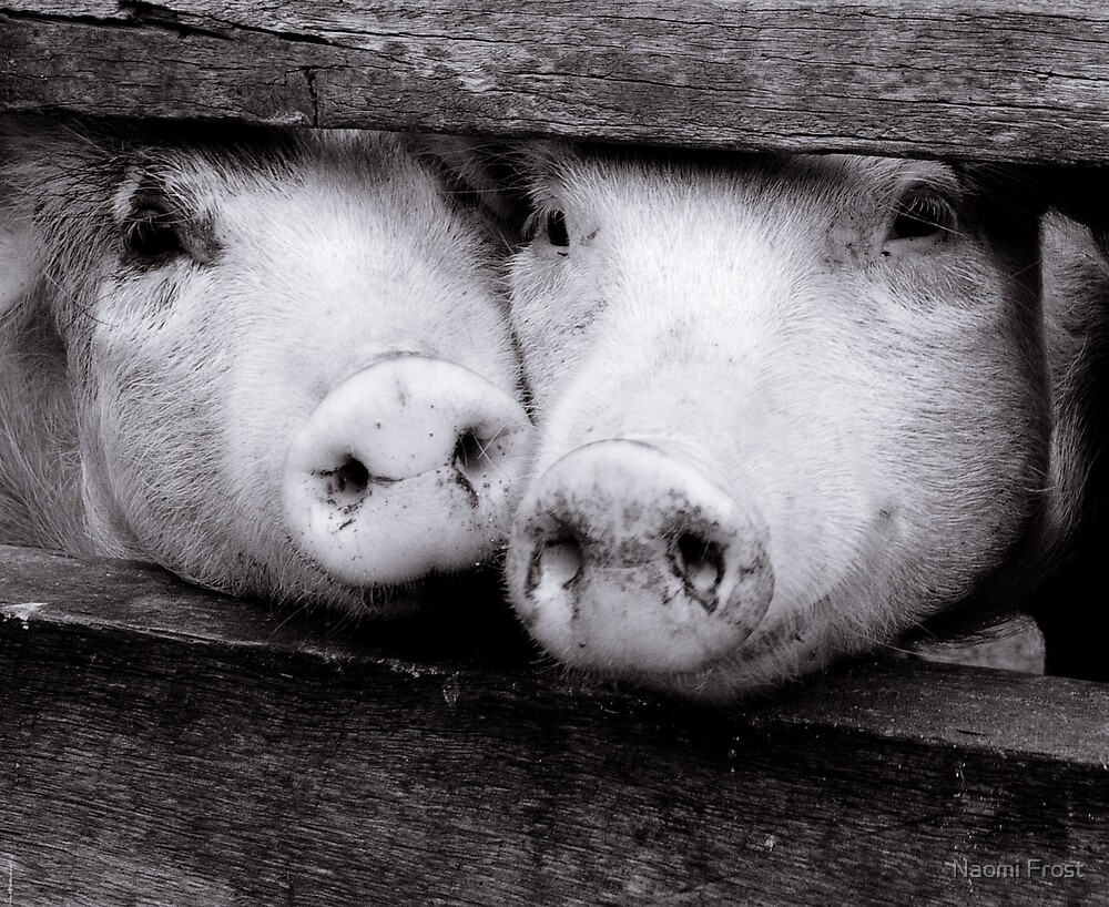 Two Little Pigs.. by Naomi Frost