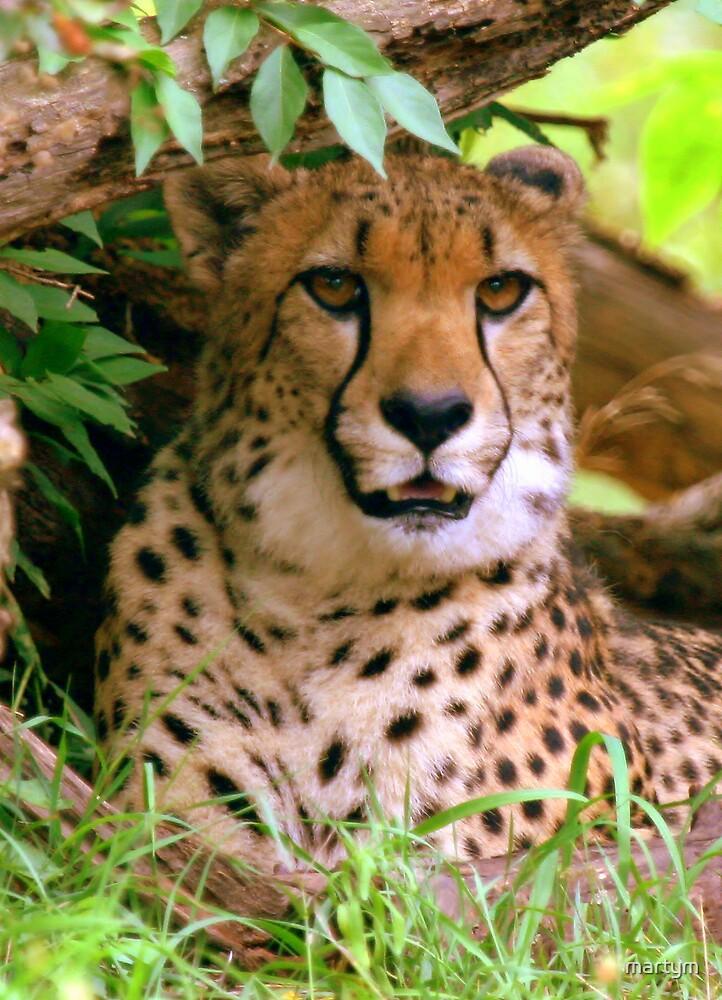 cheetah portrait by martym