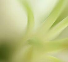 lilium by italmacro