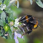 First Bumble Bee this year........Dorset UK by lynn carter