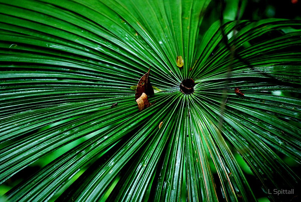 Fan Palm by L Spittall