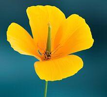 Eschscholzia californica by John Edwards