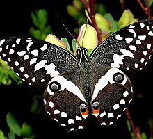 Citrus Swallowtail by Macky