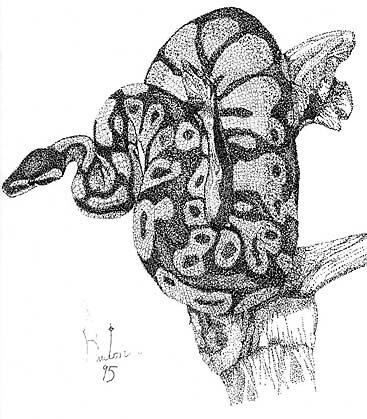 Ball Python by Preston  Shupp