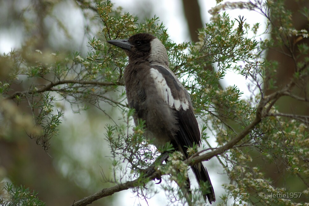 Magpie in a tree by lettie1957