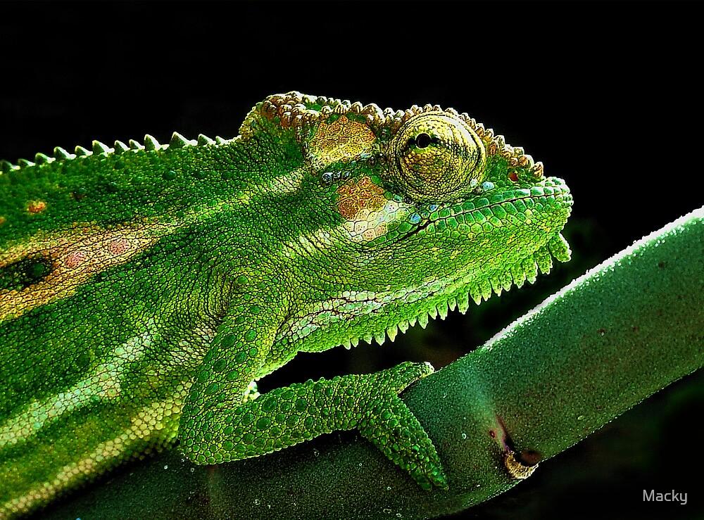 Cape Dwarf Chameleon by Macky