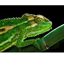 Cape Dwarf Chameleon Photographic Print