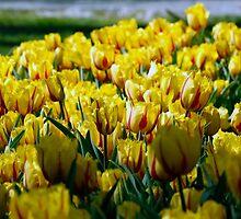 Tulip by ugurlu