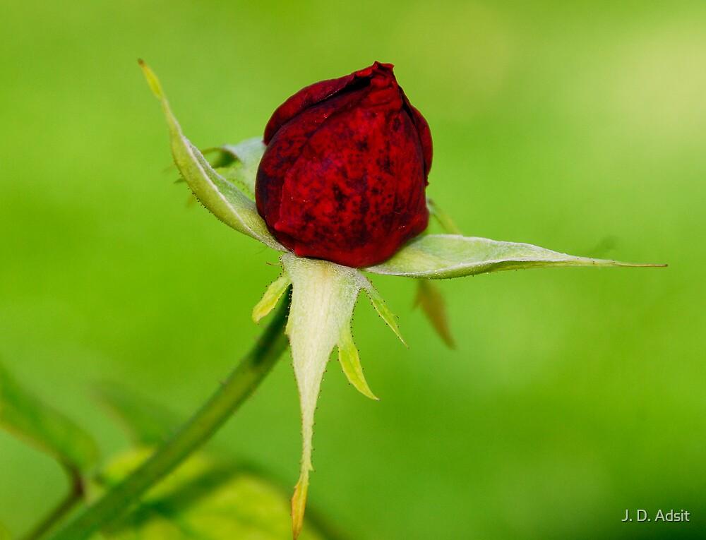 Presenting her Rosebud by J. D. Adsit