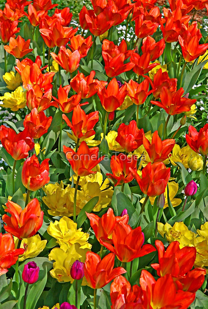 spring fantasy: tulip symphony by Cornelia Togea