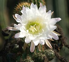 White Cactus Bloom by Eyal Nahmias