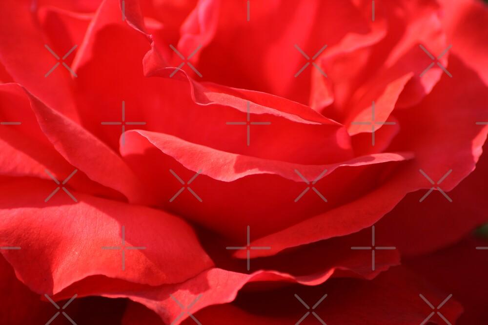 Open Rose by Sophie Watson