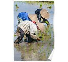 Paddy Field 2 Poster