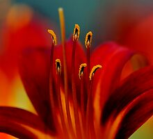 Lily by Leisa  Hennessy