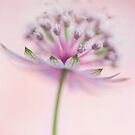 Astrantia 2 by Jill Ferry