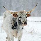 Winter Longhorn by DawsonImages