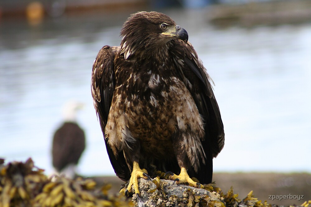 Immature Bald Eagle by zpaperboyz