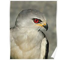 Black Shouldered Kite Poster