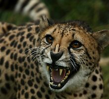 Angry Cheetah by Daniela Pintimalli