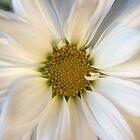 """Daisy"" by sheldoni"