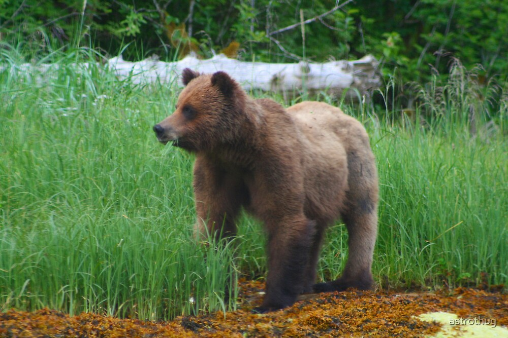 Grizzly Bear from Khutzeymateen bc by astrothug