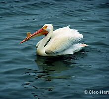 Proud Pelican by chardy