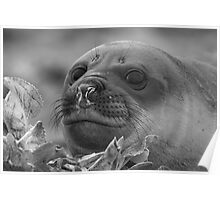 Angel Eyes  ~  Female Southern Elephant Seal Poster