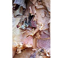 Bark of the River Birch in Winter Photographic Print