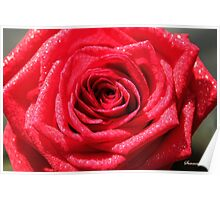 Dressed for a Party ~ Glittering Rose Poster