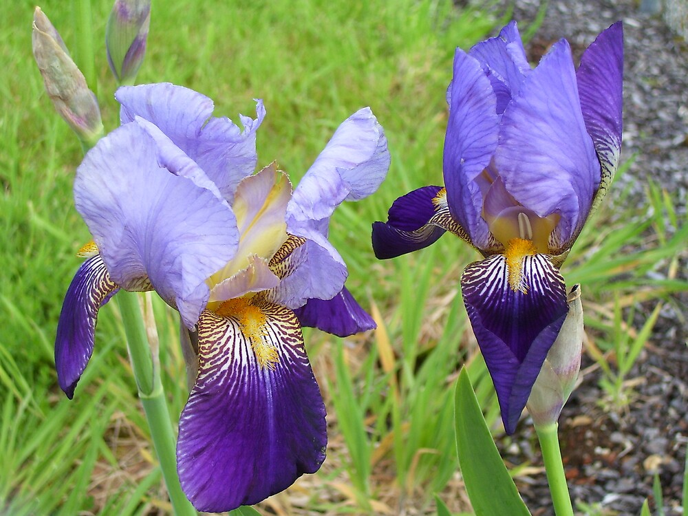 majestic irises by gaylene