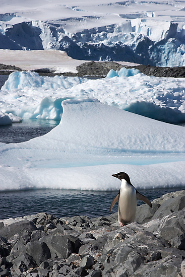 "Adelie Penguin  ~  ""and this is my backyard"" by Robert Elliott"