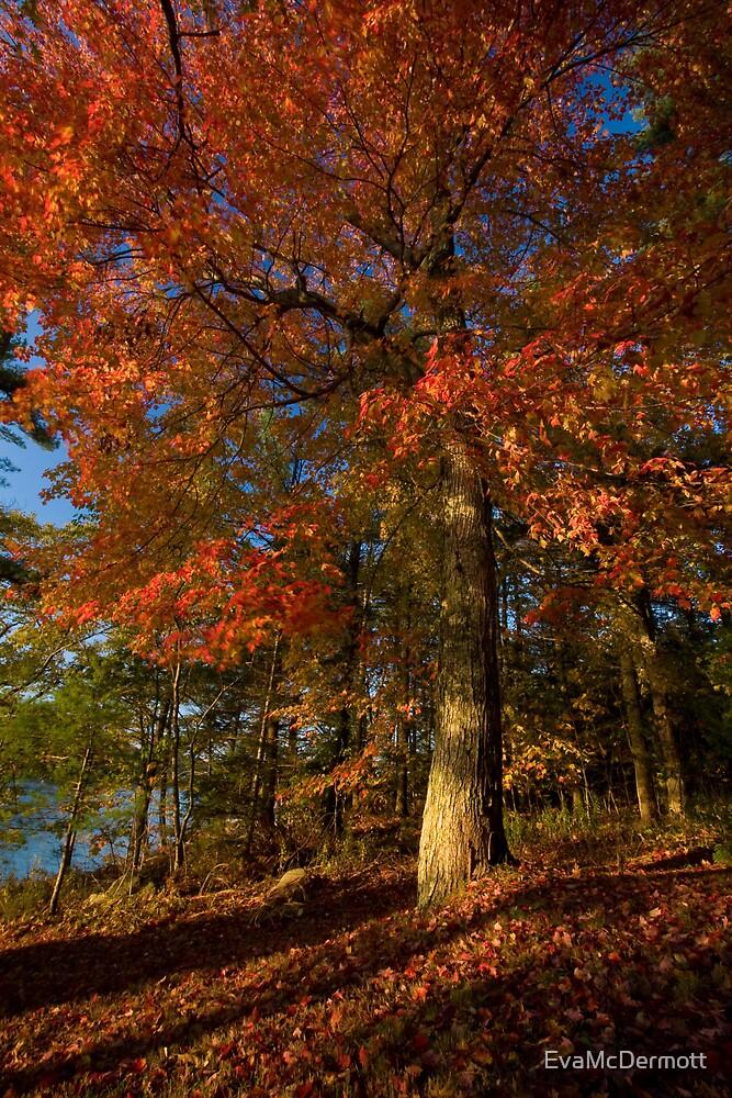 Maple in Maine by EvaMcDermott