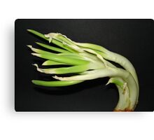 Sprouting Onion. Canvas Print