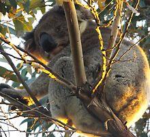 Cute Koala by ©Josephine Caruana