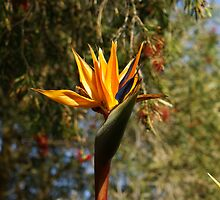 Bird of Paradise by AngelMel