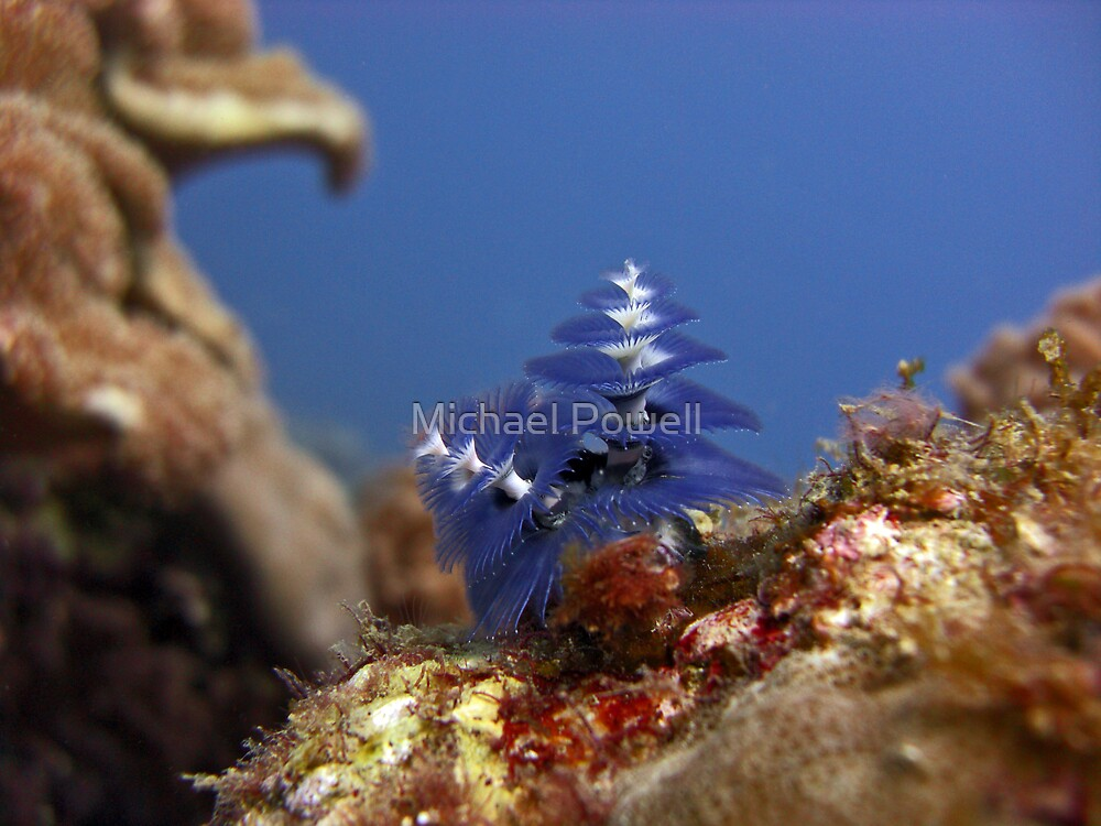Christmas Tree Worm by Michael Powell