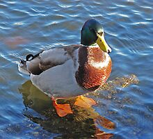 Duck by Andy Harris